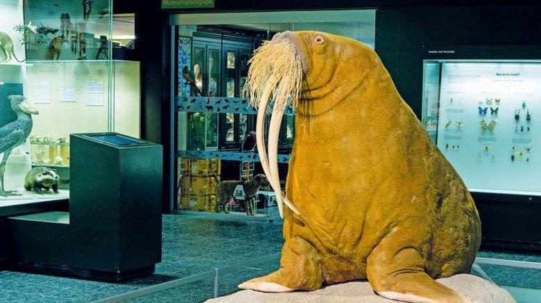 Tierischer Promi: Walross Antje war NDR-Maskottchen und lebte im Tierpark Hagenbeck. Foto: UHH