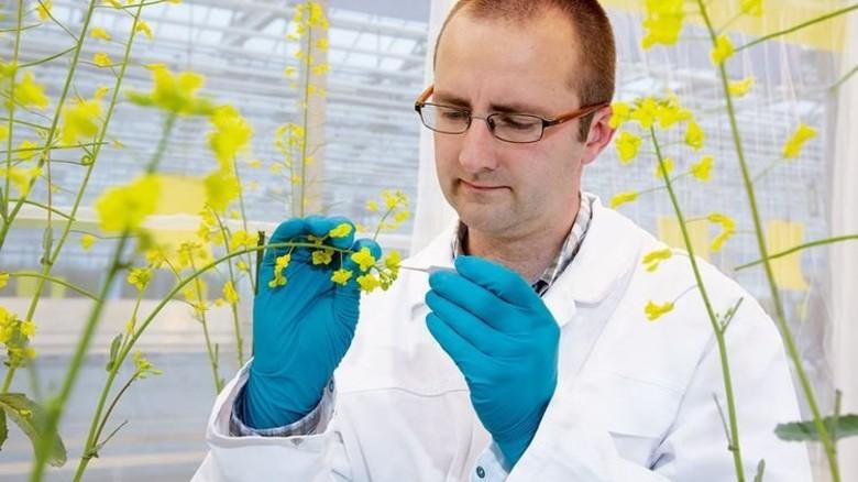 Sorgfalt nötig: Rapsexperte Steven Engelen untersucht die Blüten ausgewählter Pflanzen. Foto: Werk