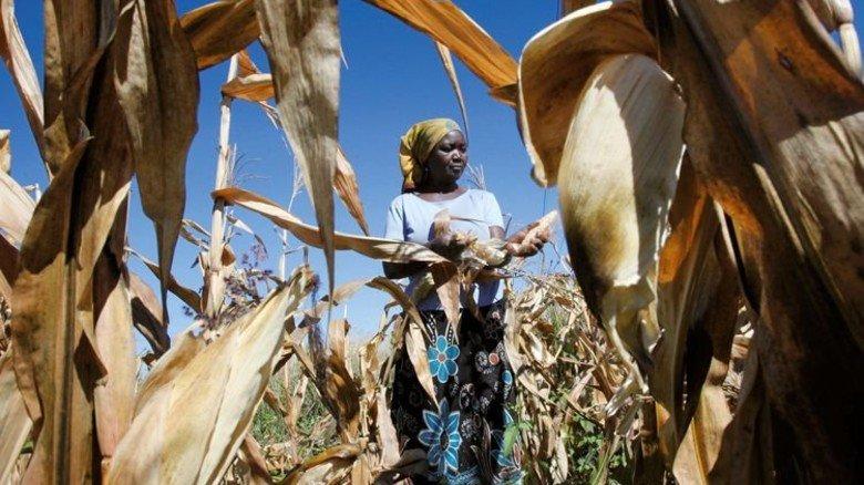 Maisernte in Simbabwe: Ein großer Teil der landwirtschaftlich nutzbaren Ackerfläche der Erde liegt in Afrika. Foto: Reuters