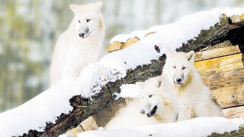 … und Polarwölfe mögen kalte Temperaturen. Foto: Tripsdrill