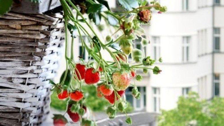Lecker: Am Erdbeerstrauch hat man immer was zum Abzupfen. Foto: Brancheninitiative Grünes Medienhaus