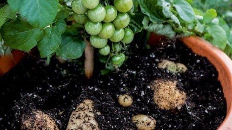 Doppelpack: Oben wachsen Tomaten, unten Kartoffeln. Foto: Brancheninitiative Grünes Medienhaus