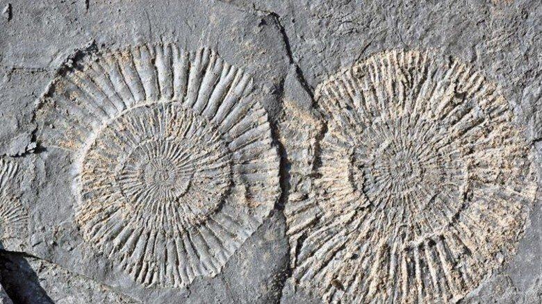Prächtig:  In Dormettingen sind  180 Millionen Jahre alte Ammoniten zu finden. Foto: Holcim
