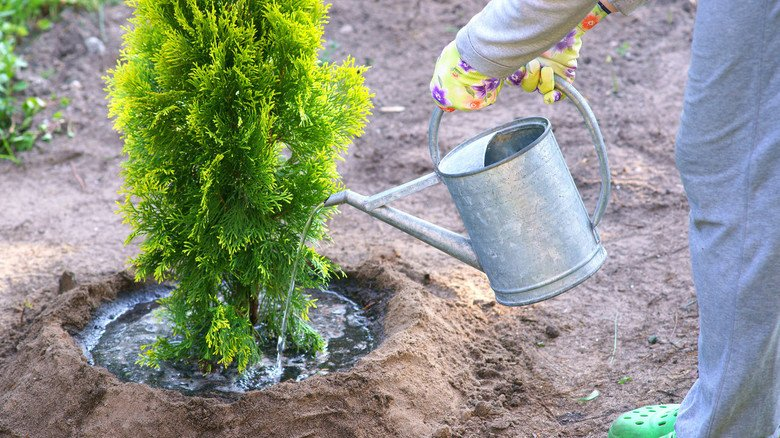 Trick gegen das Verdunsten: Ein angelegter Gießrand hält das Wasser nah bei der Pflanze. Es breitet sich nicht weitläufig aus und verdunstet so auch nicht schnell.