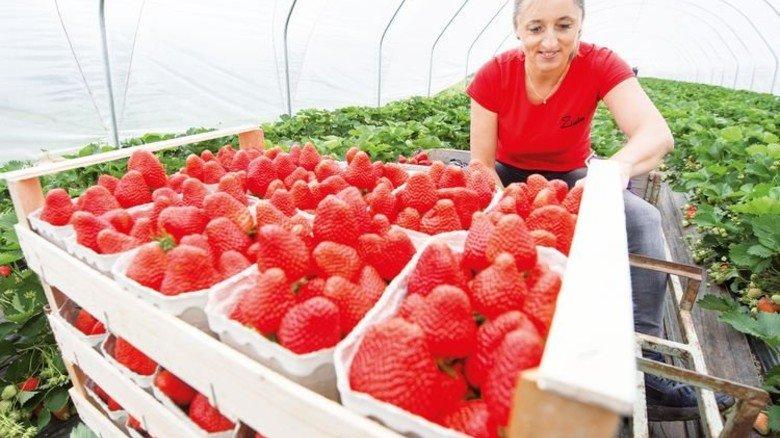 Erdbeer-Turbo: Unter der schützenden Plane kann das beliebte Obst frühzeitig reif werden. Foto: dpa