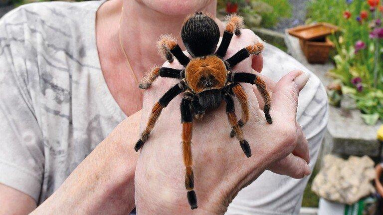 """Achtbeiniger Mitbewohner: Tanja Hensel mit """"Böhmi"""", die der mexikanischen Vogelspinnen-Art Brachypelma boehmei angehört. Und nein, das Tier ist nicht giftig."""