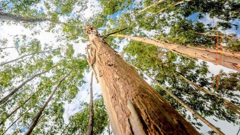 Schwierig: Eukalyptusrinde fordert die Entwickler. Foto: Fotolia
