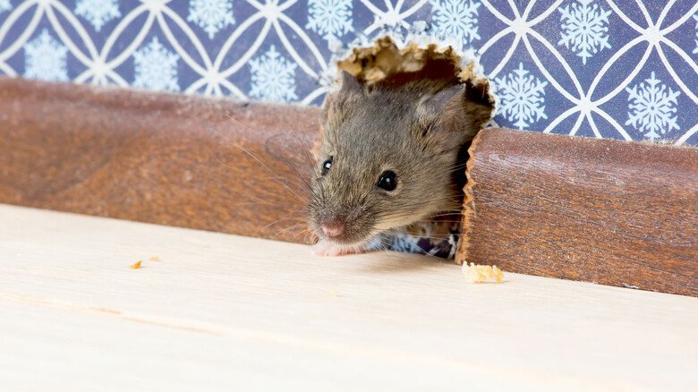 Aus die Maus! Bei einem Befall sollte man schnell reagieren, denn ein paar niedliche Nager können sich schnell in eine große Horde Plagegeister verwandeln.