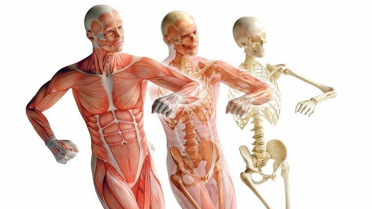 """Beweglich bleiben: Muskeln, Bindegewebe, Knorpel, Knochen und Gelenke sollen in Zukunft viel länger halten als bisher. Oder auch durch spezielle Therapien """"wiederhergestellt"""" werden können."""