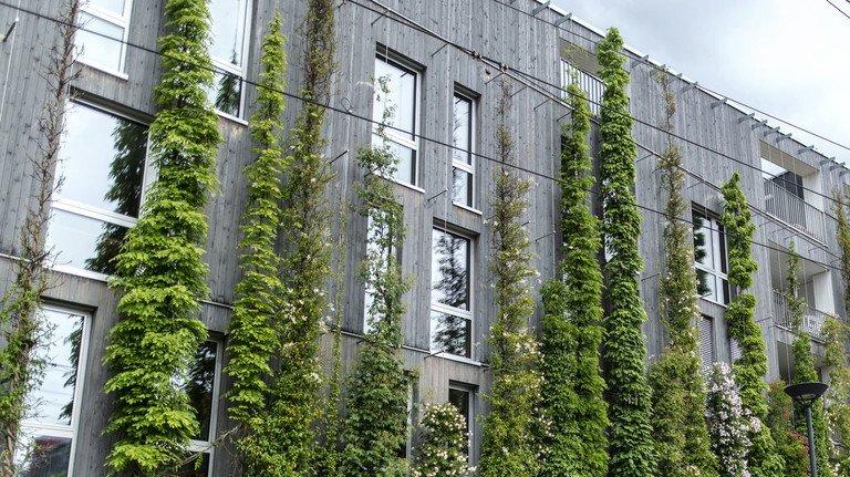 Begrünte Hausfassaden: Sie schützen die Bausubstanz und filtern Feinstaub.