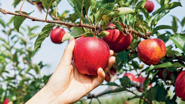 Rosige Äpfel: Viele alte Sorten wachsen auf der Ratzinger Höhe.
