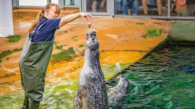 Fütterung von Seehunden im Aquarium.