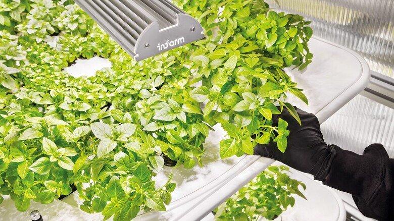 LEDs statt Sonne: Viel Licht lässt die Kräuter in speziellen Schalen gedeihen.