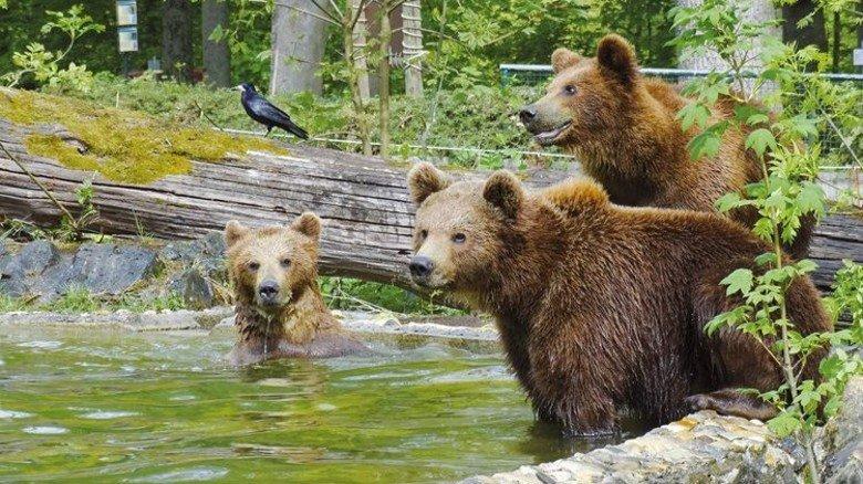 Bärenbande: Woiferl, Wiggerl und Pauli sind neu im Tierpark Straubing. Foto: Tierpark Straubing