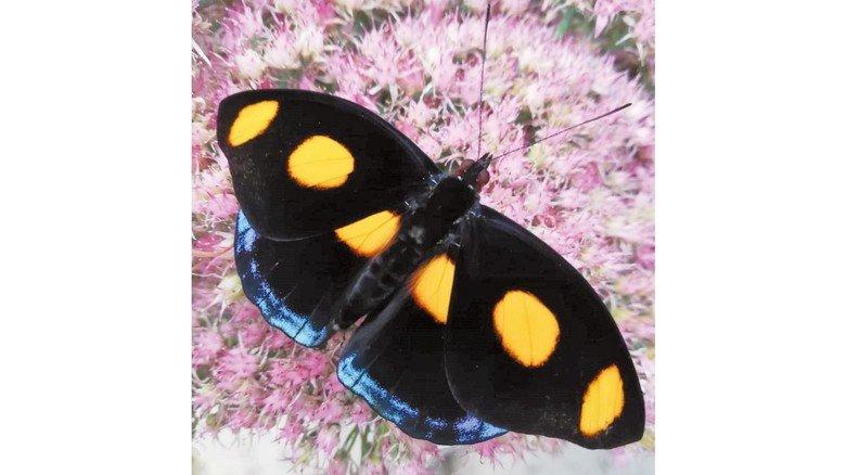Samtschwarz: Der Falter namens Feinschmecker trägt Tupfen auf den Flügeln.