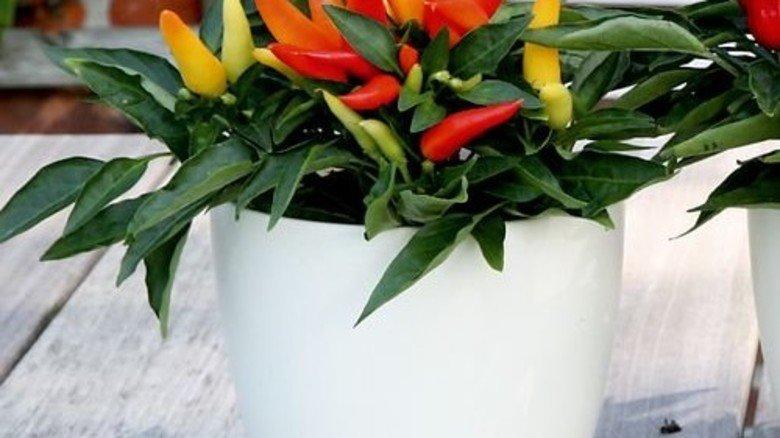 Vorsicht scharf: Bunte Chilis gedeihen gut im Topf. Foto: Brancheninitiative Grünes Medienhaus