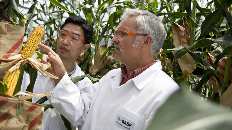 Gegen Trockenheit tolerant: Pflanzenforscher der BASF züchten im Gewächshaus Maispflanzen.