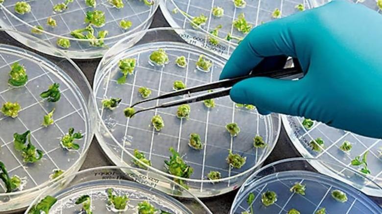 Anzucht auf Nährgel: Neue Rapssorten wachsen im Labor in Petrischalen heran. Foto: Werk