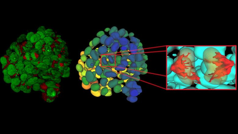 Krebszelle ganz nah: Bildanalyse mit Aivia auf Basis einer Zeitrafferaufnahme,  die mit Stellaris von Leica Microsystems aufgenommen wurde.