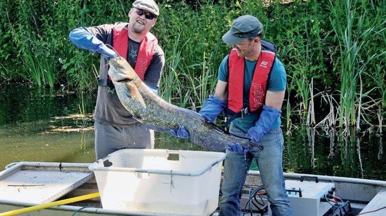 Fetter Fang: Diesen Wels holten kürzlich Angler aus der Alten Emscher. Foto: Emschergenossenschaft