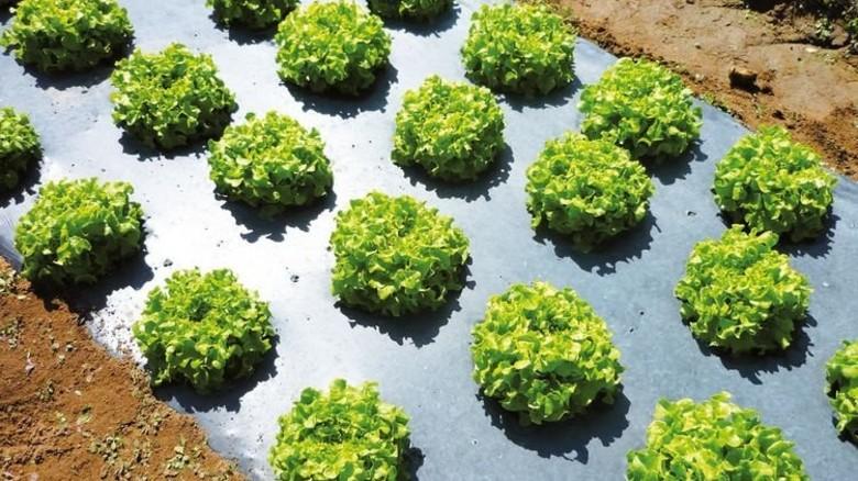 Bio-Folie: Nach der Ernte lässt sich die Kunststoffplane unterpflügen. Foto: BASF