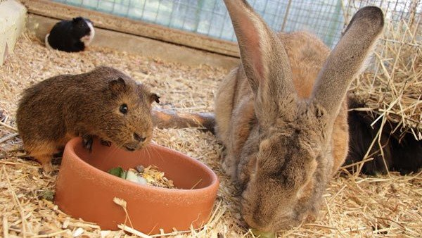 Kaninchen und Meerschweine