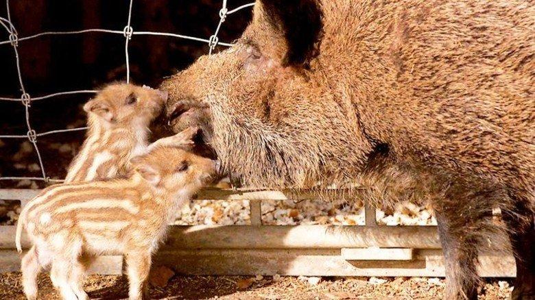 … Wildschweine … Foto: Wintergerst