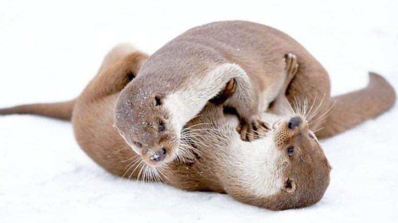 … Otter, … Foto: zoo-fotografie.de