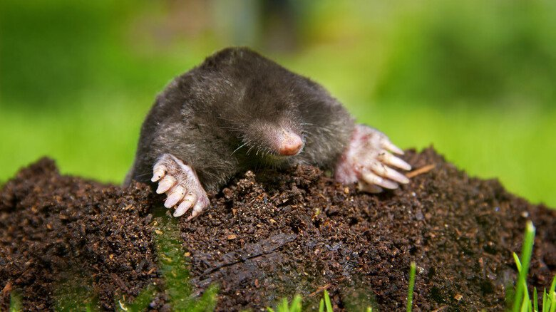 Emsiger Helfer im Garten: Auch wenn  mancher Hobbygärtner ihn nicht gern sieht, der Maulwurf gehört eher zu den nützlichen Tieren. Er lockert die Erde auf und vertilgt Schädlinge wie Schnecken oder Schnakenlarven.