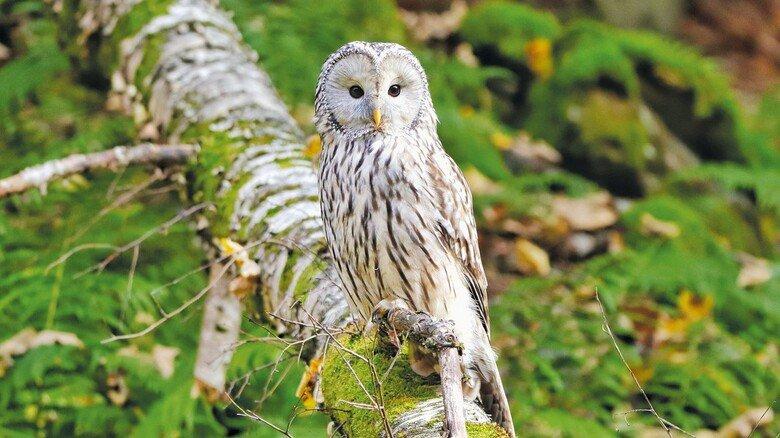 Federvogel: Der seltene Habichtskauz wurde im Bayerischen Wald wieder angesiedelt.
