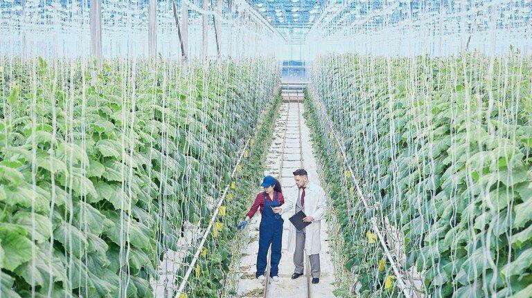 Gewächshaus: Wissenschaftler züchten ertragreiche und widerstandsfähige Pflanzen.
