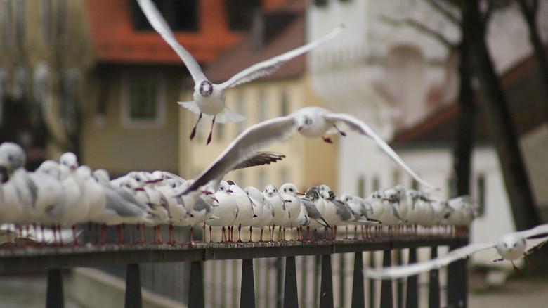 Treffpunkt Geländer: An der Isar in Landshut kann man Möwen aus ganz Europa sichten.