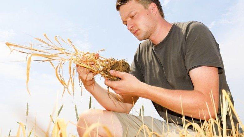 Schwacher Ertrag: Das Korn ist zwar reif, aber zu klein. Foto: dpa
