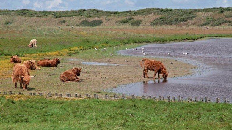 Langeoog: Auf der Nordseeinsel weiden Hochlandrinder. Foto: Zwoch/NLPV
