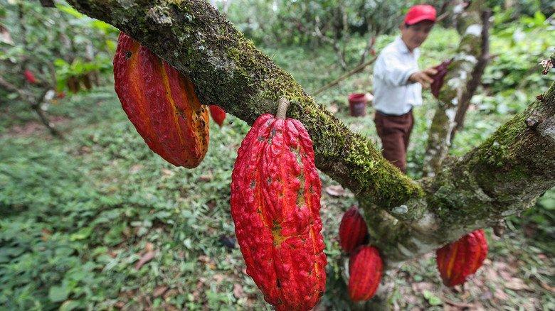 Plantage in Peru: Im März kostete eine Tonne Kakaobohnen im Schnitt rund 2.200 Dollar. Das bedeutendste Anbauland ist übrigens die Elfenbeinküste in Westafrika.