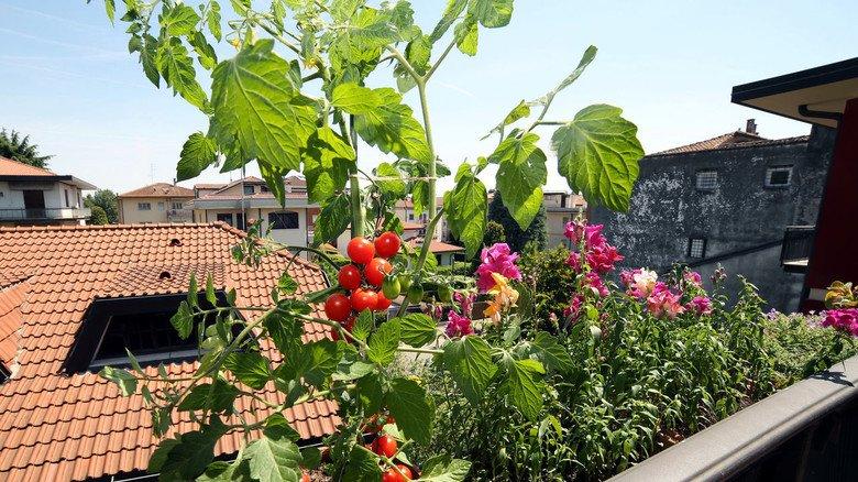 Tomatenpflanze: Das Nachtschattengewächs fühlt sich auch im Topf auf dem Balkon wohl. Aber Achtung: Es gibt Regeln für die Anpflanzung von Obst und Gemüse auf Balkon oder Gemeinschaftsgarten.