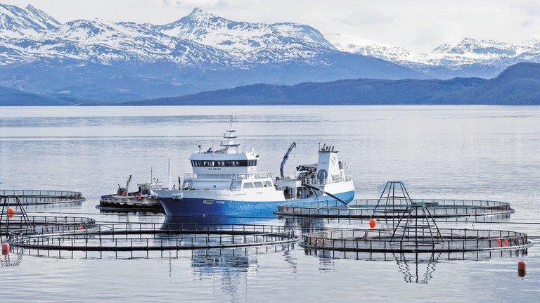 Lachsfarm in Norwegen: 400 Millionen Zuchtlachse tummeln sich in den Fjorden.