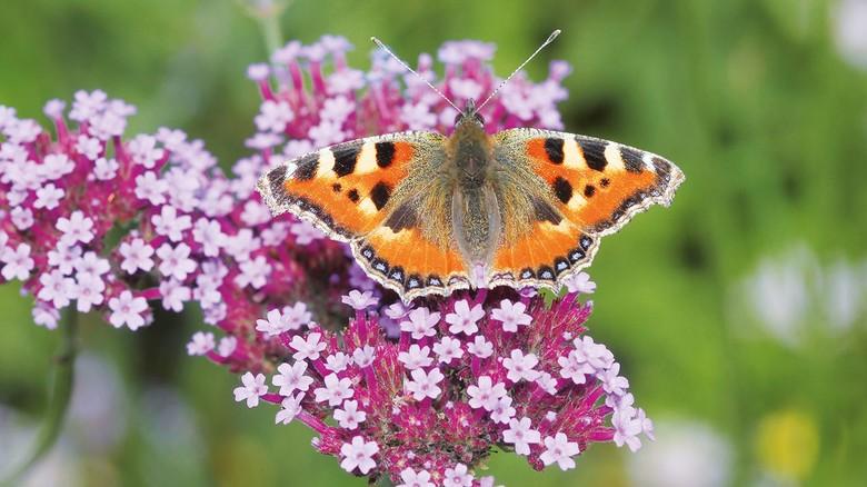 """Schmetterling gesichtet? Der """"Kleine Fuchs"""" ist an seinen orange-braunen Flügeln mit blauen Punkten zu erkennen."""