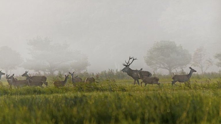 Natur pur: Hirsche während der Brunft in der Vorpommerschen Boddenlandschaft. Foto: Schröter